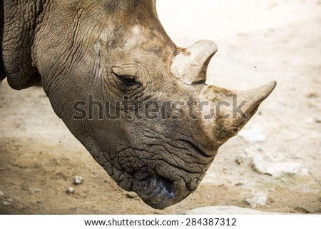 Close up white rhino in the zoo. - stock photo