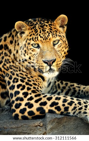 Close up wild leopard on the dark background - stock photo