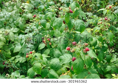 close-up wild raspberry plantation in the  forest - stock photo