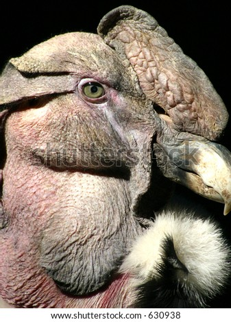 Close up with the Andean Condor--which can be found in the Andeas and Peru.