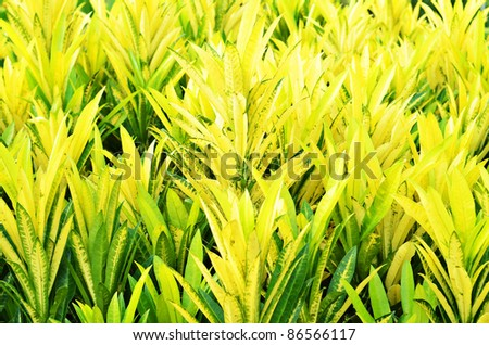Close up yellow and green leaves pudding flowers - stock photo