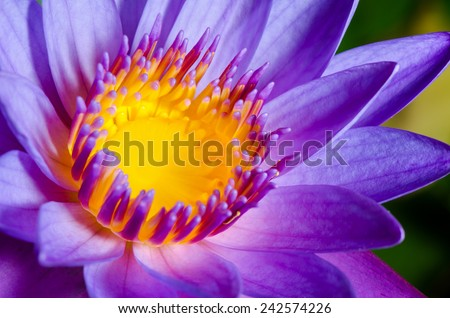 Close up yellow carpel in purple Lotus or Water Lily flower - stock photo