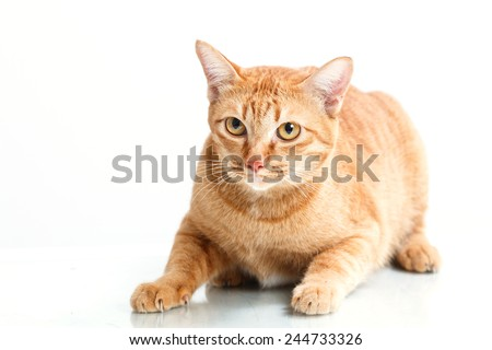 close up yellow cat on white background