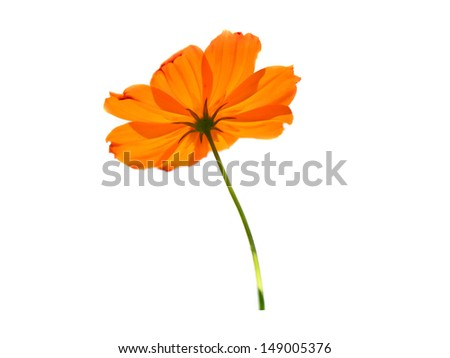 Close up Yellow Cosmos flower on white background.