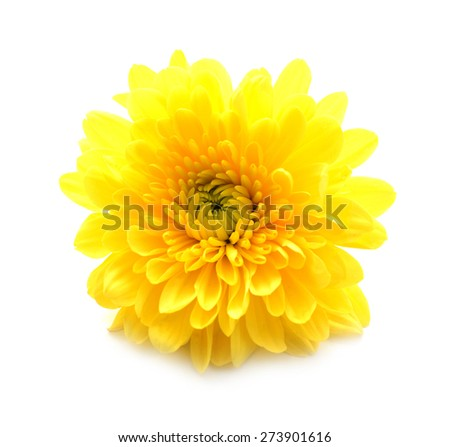 Close-up yellow daisy flower isolated on white background - stock photo