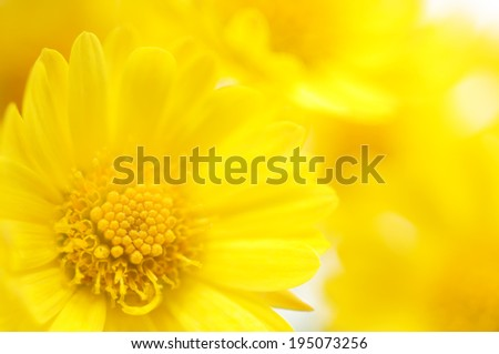 Close-up yellow flowers background isolated on white