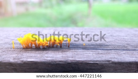 Close up yellow mushroom growing on the wood floor. Dacryopinax spathularia - stock photo