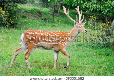 Close-up young whitetail deer standing in summer wood - stock photo