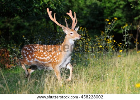 Close-up young whitetail deer standing in summer wood