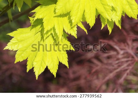 close up young yellow leaves of Acer japonicum shirasawanum