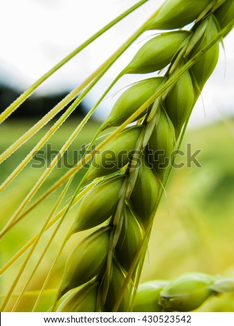 Close upl of a green spike wheat - stock photo