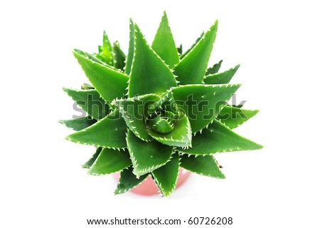 close-ups of aloe vera plant on white background - flowers and plants - stock photo