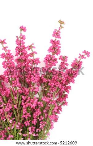 close-ups of heather isolated on white - stock photo
