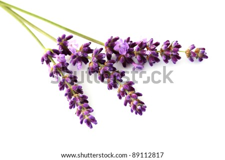 close-ups of lavender flowers isolated on white - flowers and plants