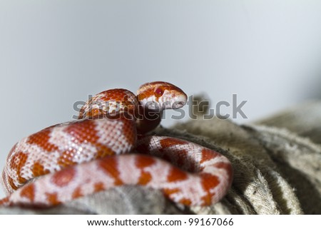 Close view of a beautiful red corn snake. - stock photo