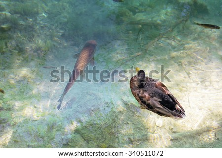 Close view of a  black duck and a big fish in a water