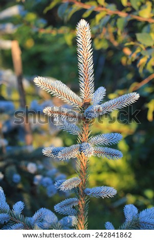 Close view of a blue pine - stock photo