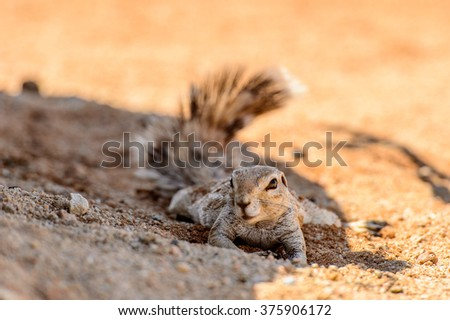 Close view of a cute suricate in Namibia
