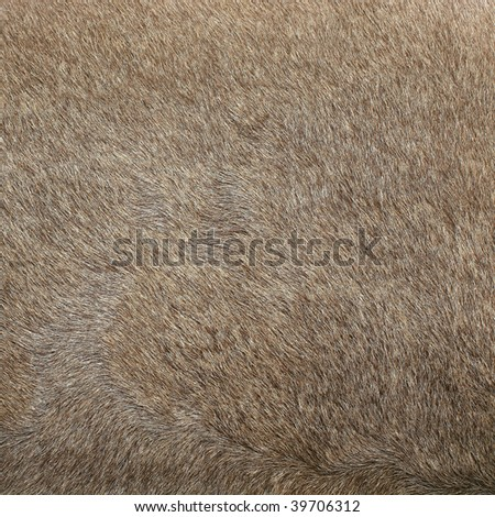 Close view of a fur from a capra ibex - stock photo