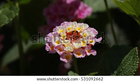 Close view of a lantana camara flower in details