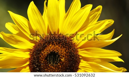 Close view of a sunflower on a sunny day