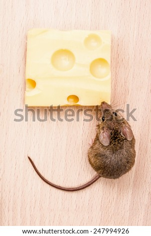 Close view of a tiny house mouse (Mus musculus) eating cheese - stock photo