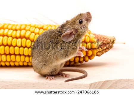 Close view of a tiny house mouse (Mus musculus) near corn cob - stock photo
