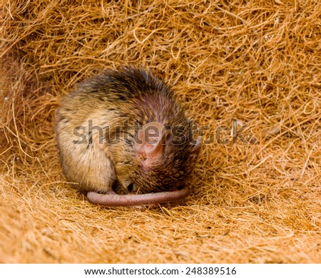 Close view of a tiny house mouse (Mus musculus) sleeping in shelter - stock photo