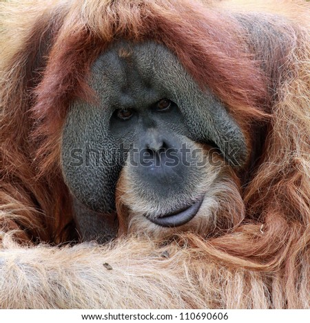 close view of an old male Orangutan - stock photo
