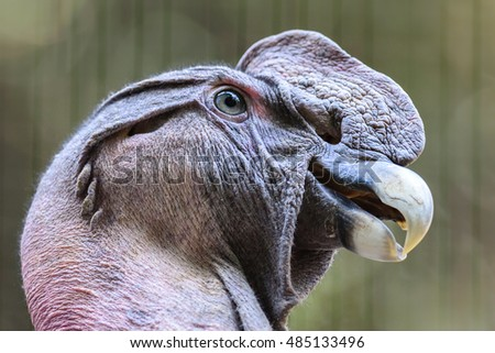 close view of Andean condor (Vultur gryphon) bird