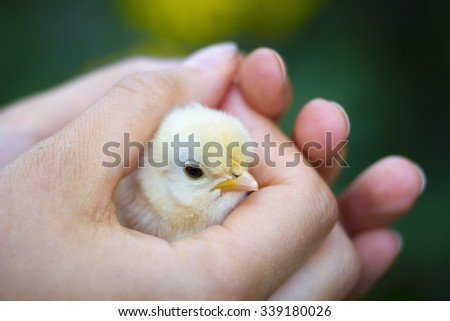 Close view of baby chick in girl's hand - stock photo