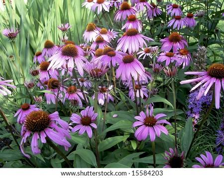 Close view of beautiful garden of purple cone flowers. - stock photo
