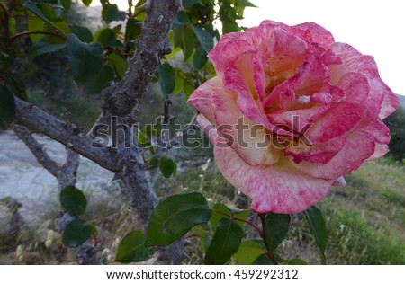 Close view of beautiful spanish rose flower - stock photo
