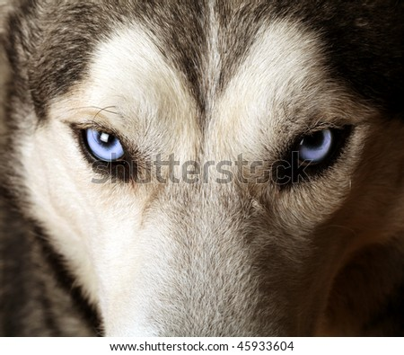 Close view of blue eyes of an Husky or Eskimo dog - stock photo