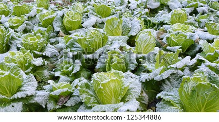 close view of frozen cabbage - stock photo