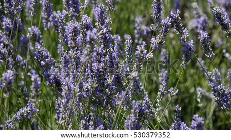 Close view of lavender flowers in a field