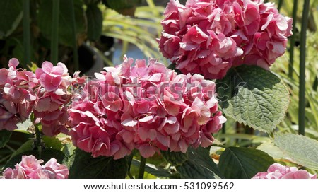 Close view of nice pink hydrangea flowers on a sunny day