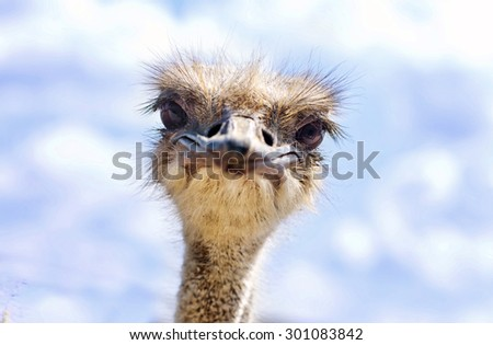 Close view of ostrich head (Struthio camelus) - stock photo
