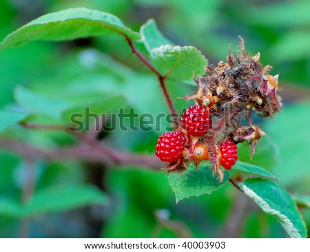 Close view of the Fruit of the Wineberry - stock photo