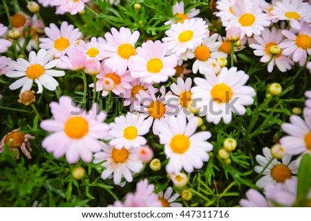 Close view of white flower : aster with white petals and yellow heart   - stock photo