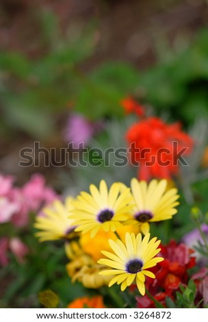 Close yellow daisy (Arnica montana)focused, fading to abstract garden background - stock photo