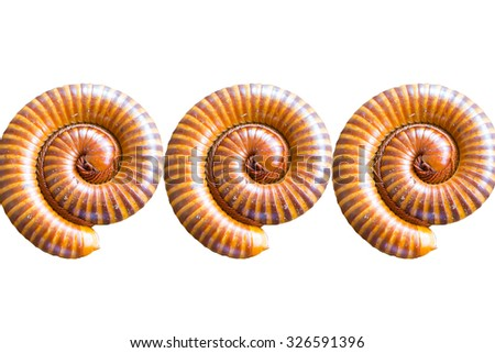 Closed up Millipede on white background