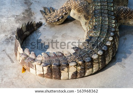 Closed up of Crocodile tail - stock photo