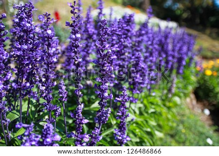 Closed up of lavender flower - stock photo