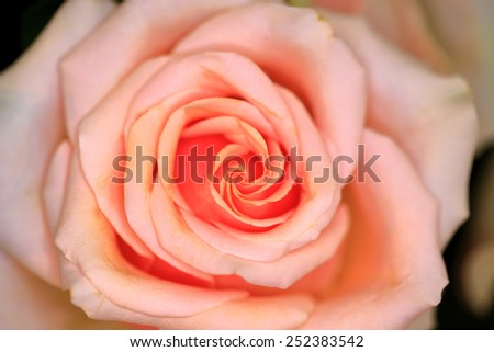 Closed up of rose, Presentation for valentine. - stock photo