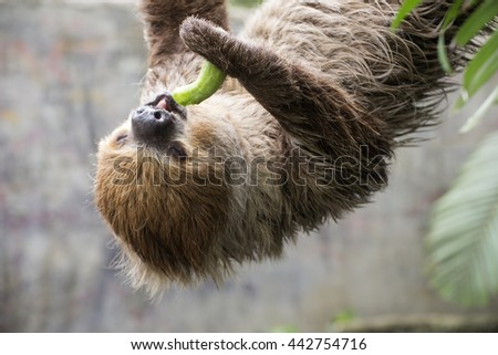 Closed up Young Hoffmann's two-toed sloth eating cucumber - stock photo