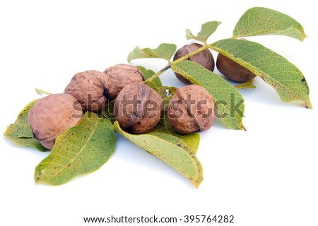 Closed walnuts lying on walnuts' leaves - isolated on white
