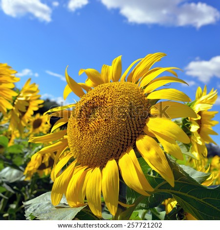 Closeup a bright yellow sunflower against blue sky. Summer concept. Provence, France. - stock photo