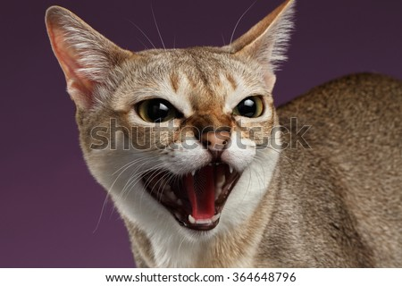 Closeup Aggressive Singapura Cat Hisses on purple background - stock photo