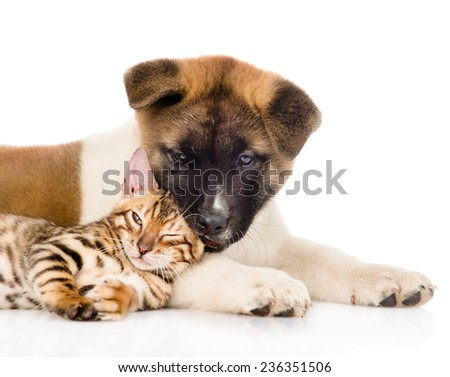 Closeup Akita inu puppy dog playing small bengal cat together. isolated on white background - stock photo